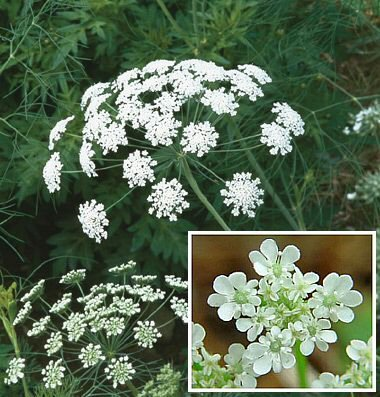 Lace Flower 'Queen of Africa' (Ammi majus) Seeds