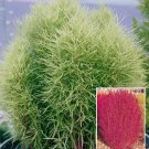 MEXICAN FIREBUSH (Kochia scopania ANNUAL Seeds
