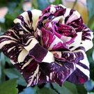 Black Dragon Rose Flower Seeds , Beautiful Stripe Rose Bush Plant, DIY Home Garden - 50 Seeds