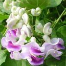 Corkscrew Vine Flower Seed | Fragrant Vigna Caracalla Rare Snail Plants DIY Garden Home - 20 Seeds