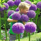Purple Giant Allium Giganteum Beautiful Onion Magenta Perennial Flower Seed - 100 Seeds