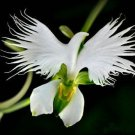 Japanese Radiata Flower Seeds White Egret World's Rare Orchid Orchidee Garden Plant - 200 Seeds