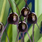 Pretty Black Monkey Face Orchid 100 Seed Rare Plant World's Weirdest Flower Garden Home Design Decor