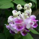 20 Corkscrew Vine Flower Seed Fragrant Vigna Caracalla Rare Snail Garden Plants