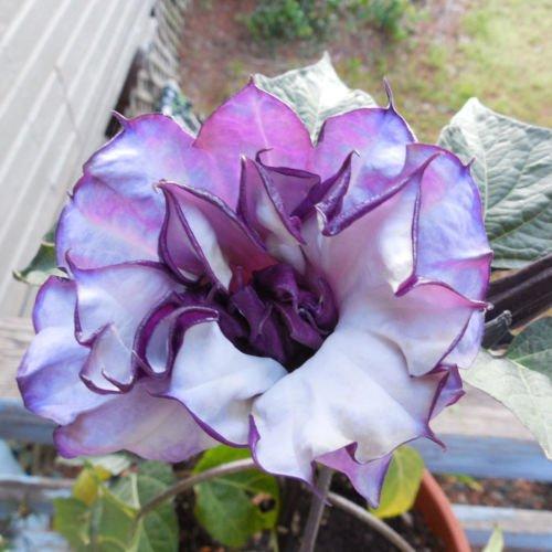 50 Purple Triple Datura Metel, Fancy Ruffled Blooms Flower Seeds Garden Plants