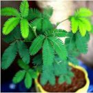 35 Sleeping Sentitive Bashfulgrass Seed Magic Fun Mimosa Plant Dancing Gardening