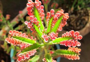 100 Pink Kalanchoe Butterflies Sparkler Succulents Cactus Gardening Exotic Rare