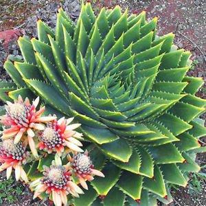 100 Aloe Polyphylla Seed Succulent Spiraling Vera Cactus Rare Exotic Plant Garde