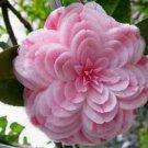 50 Camellia Flower Seeds Perennial Gorgeous Beautiful Home Gardening Decor Plant