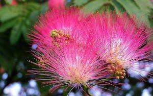 20 Albizia Mimosa Silk Flower Seeds Pot Gardening Decor House Plants Rare Bonsai