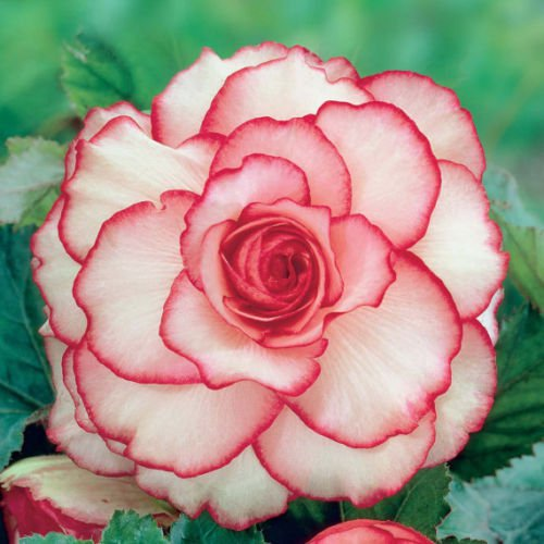 10x Begonia Flower Seeds Bulb Tuberosa Double Color - First Picotee Love Garden