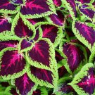 100 Rainbow Mix Coleus Seed Blumei Flower Grass Home Garden Balcony Design Plant