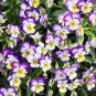100 Johnny Jump Up Viola Tricolor Flower Seeds Beautiful Heirloom Organic Garden