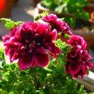 20 Crimson Petals Geranium Flower Seeds Perennial Pelargonium Peltatum Plant DIY