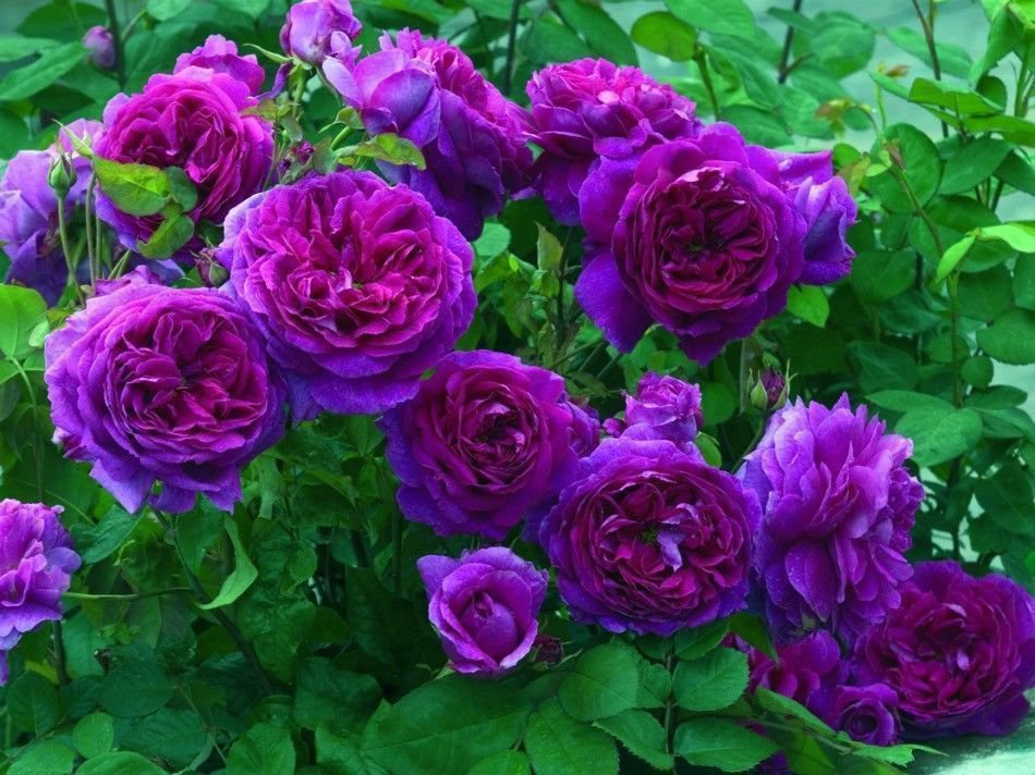 100x Heirloom Climbing Rose Seeds Climber Flower Purple Perennials Garden Decor