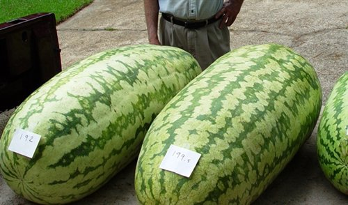 20x Giant Watermelon Fruit Seeds- HUGE 200 lbs, Home gardening Free Shipping