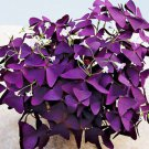 2 Red Purple Wood Sorrel Perennial Flower Seeds Oxalis Corymbosa Lucky Plant DIY