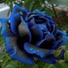 20x Midnight Supreme Charming Bush Blue Rose Flower Seeds, Rare Hot Real Color