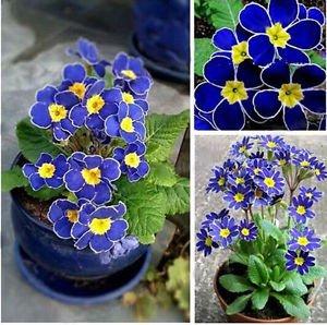 100x Blue Evening Primrose Rare Exotic Flower Seeds Fragrant DIY Home Garden