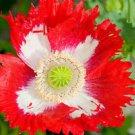 100x Rare Exotic Poppy Danish Flag Flower Seeds  Papaver Somniferum Home Garden