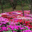 50 Garden Balsam Colorful Balsamina Impatiens Flower Seeds | Annual Multicolor