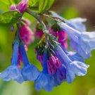 200 Virginia Bluebells Flower Seed Mertensia Virginica Woodsy Cute Wildflower