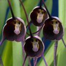100 Pretty Exotic Rare Black Monkey Face Orchid Seed Plants Flowers Seeds Dragon