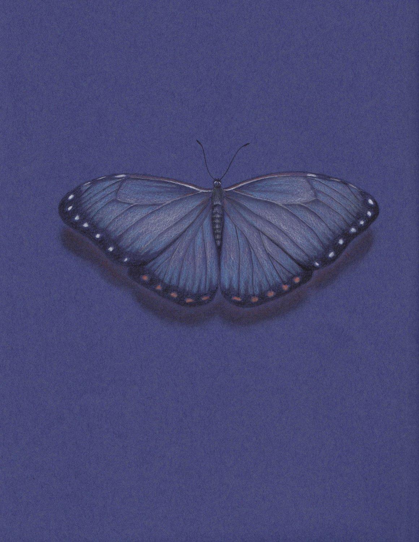 Dark Blue Butterfly Wing Span Pencil Drawing Gicleé Fine Art Print