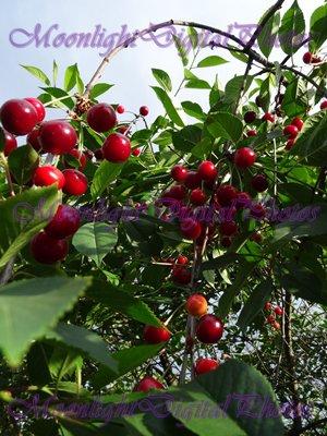 Cherries #1