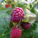 Raspberries #1