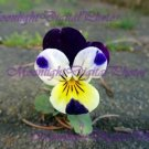Pansy #2