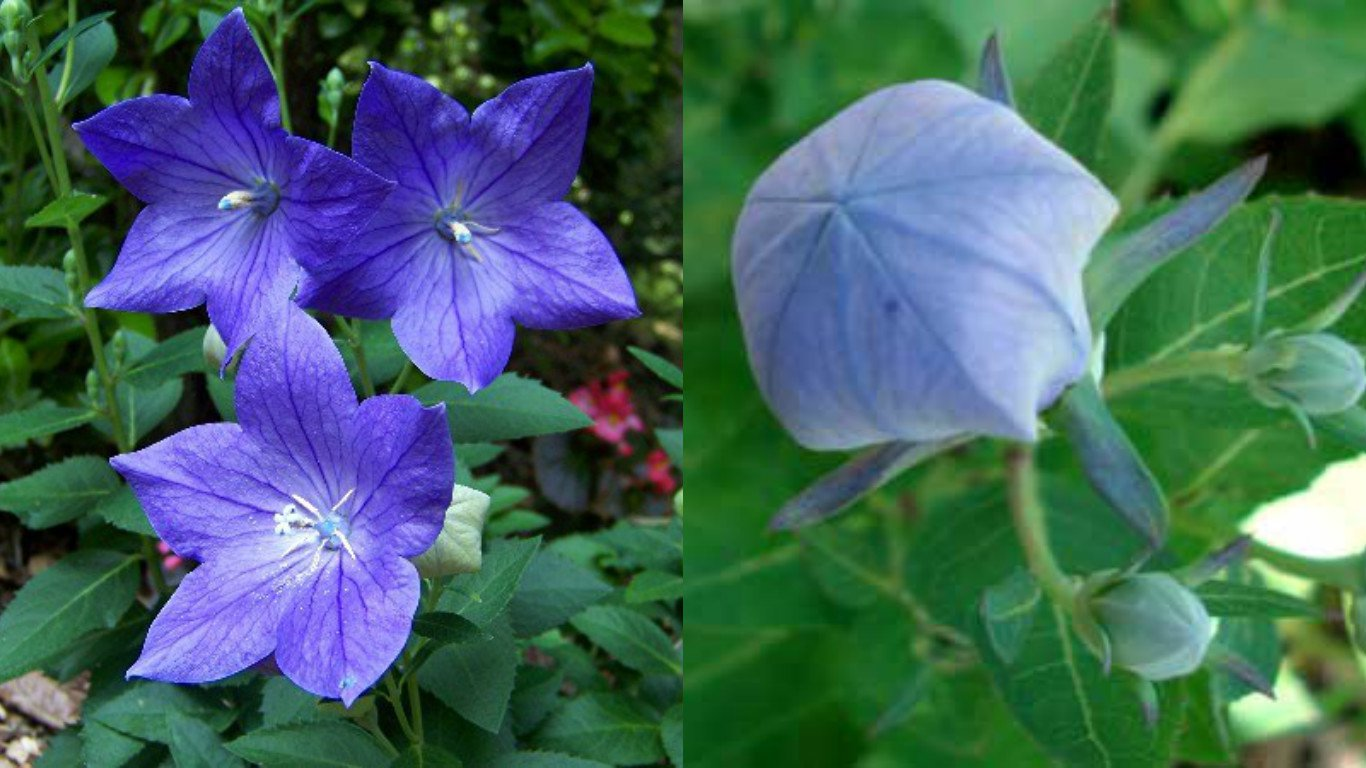 HEIRLOOM NON GMO Blue Balloon Flower 25 seeds