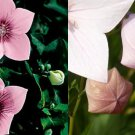 HEIRLOOM NON GMO Pink Balloon Flower 25 seeds