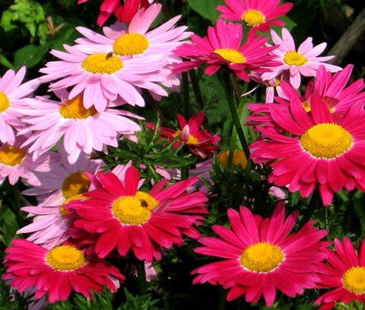 HEIRLOOM NON GMO Red & Pink Chrysanthemum Mix 25 seeds