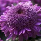 HEIRLOOM NON GMO Extreme Purple Chrysanthemum 25 seeds