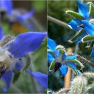 HEIRLOOM NON GMO  Blue Flowering Borage 25 seeds