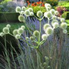 HEIRLOOM NON GMO  Rattlesnake Master 100 seeds