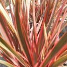 Pink Stripe New Zealand Flax (f1 Hybrid)