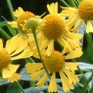 Helenium autumnale (Wild Form) 10 seeds