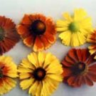 Helenium Mix 50 seeds