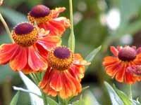 Helenium Adios 10 seeds