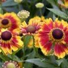 Helenium Biedermeier 10 seeds