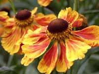 Helenium Flammenrad 10 seeds