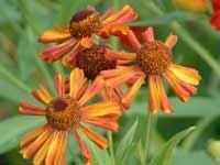 Helenium Loysder Wieck  10 seeds