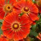Helenium Mahagony   10 seeds