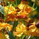 Helenium Oudgold  10 seeds