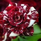 Tiger Stripes  Rose 10 seeds