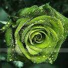 Dark Green European Rose  10 seeds