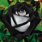 Black & White Rose  10 seeds