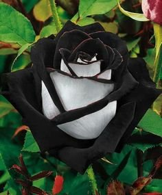 Black & White Rose  10 seeds